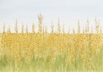 Honey Field III